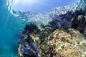 Giant hawkfish (Cirrhitus rivulatus) in the middle of Purple sea fans, Los Islotes, National Park of Espiritu Santo Archipelago, Sea of Cortez, Baja California, Mexico