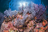 Purple sea fans, Los Islotes, National Park of Espiritu Santo Archipelago, Sea of Cortez, Baja California, Mexico