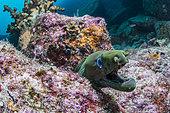 Murène châtaigne (Gymnothorax castaneus), Parc National de l'archipel d'Espiritu santo, mer de Cortez, Basse-Californie, Mexique