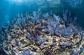 Purple sea fans, National Park of Espiritu Santo Archipelago, Sea of Cortez, Baja California, Mexico