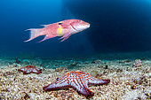 Mexican hogfish (Bodianus diplotaenia) and Panamic cushion star (Pentaceraster cumingi), National Park of Espiritu Santo Archipelago, Sea of Cortez, Baja California, Mexico