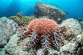 Crown-of-thorns sea star (Acanthaster planci), Bay of La Paz, Sea of Cortez, Baja California, Mexico