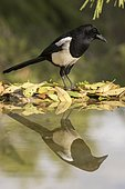 Black-billed Magpie (Pica pica) at the edge of water Madrid, Spain