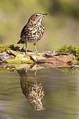 Song Thrush (Turdus philomelos) at the edge of water, Madrid, Spain