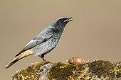 Common Redstart (Phoenicurus phoenicurus) on rock, Cordoba, Spain
