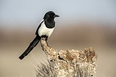 Black-billed Magpie (Pica pica) on a stump, Toledo, Spain
