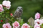Young Little owl (Athene noctua) standing on a fence by a flowering Rose, England