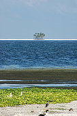View of Clipperton Atoll lagoon, ipomoea carpet and masked boobies (Sula dactylatra) at the edge of the lagoon (2005 expedition)