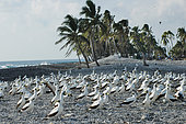 Group of masked boobies (Sula dactylatra) on Clipperton Atoll (2005 expedition)