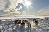 Departure of a team of sled dogs in Scoresbysund, Ittoqqotoormiit Village, East Greenland