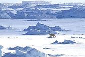 Polar bear (Ursus maritimus) on the ice floe of Scoresbysund, Greenland