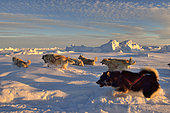 Coupling of Greenlandic sled dogs at sunset on the ice floe of Scoresbysund, Greenland
