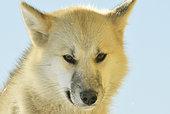 Portrait of sled dog. Ittoqqotoormit village, East Greenland