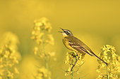 Ashy-headed Wagtail (Motacilla flava) singing in a rapeseed field, Burgundy, France