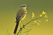 Ashy-headed Wagtail (Motacilla flava) in a rapeseed field, Burgundy, France