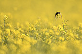 Ashy-headed Wagtail (Motacilla flava) in flight in a rapeseed field, Burgundy, France