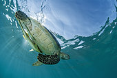 Green turtle (Chelonia mydas) and remora swimming in front of N'Gouja beach, Mayotte