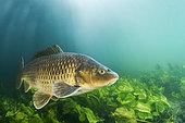 Common carp (Cyprinus carpio) swimming above the aquatic vegetation, in the river Lez, Hérault, Occitanie, France