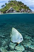 Mid-air mid-water view of a Tiera batfish (Platax teira) in front of Misool Eco Resort, Raja Ampat, Indonesia