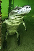 Central american alligator (Crocodylus acutus) under water, Jardines de la Reina National Park, Cuba
