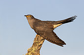 Cuckoo (Cuculus canorus) perched on a branch, Spain