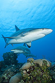 Reef sharks (Carcharhinus perezi), Queen's Gardens National Park, Cuba