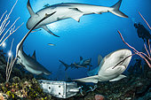 Group of reef sharks (Carcharhinus perezi) and diver, Queen's Gardens National Park, Cuba