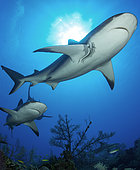 Group of reef sharks (Carcharhinus perezi), Queen's Gardens National Park, Cuba
