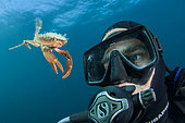 Henslow's swimming crab (Polybius henslowi) swimming in open water facing a diver, Morocco