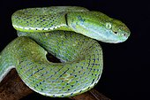The Indonesian pit viper (Parias hageni) is a large tree viper species found on Sumatra and Banka island parts of Indonesia.