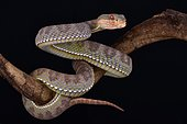 The Mangrove pit viper (Trimeresurus purpureomaculatus) is a highly aggressive nocturnal tree viper species found in Southeast Asia.
