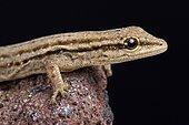 Gecko nain du Cap (Lygodactylus capensis)