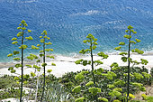 Century Plant (Agave americana) seaside, Corsica, France