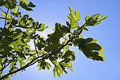 Fig-tree leaf (Ficus carica), Corsica, France
