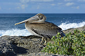 Brown pelican (Pelecanus occidentalis) on rock, Guadeloupe, French West Indies