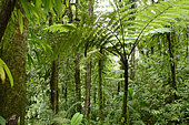 Tree fern (Cyatheales) in forest, Guadeloupe National Park, French West Indies
