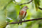 Common Linnet (Linaria cannabina) male on a branch, Alsace, France