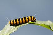 Cinnabar moth caterpillar (Tyria jacobaeae) on a leaf, Alsace, France