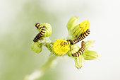 Cinnabar moth caterpillar (Tyria jacobaeae) on Ragwort flowers, Alsace, France