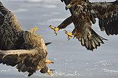 White-tailed Eagle (Haliaeetus albicilla) fighting, Hokkaido, Japan