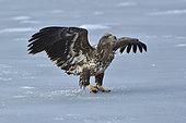 White-tailed Eagle (Haliaeetus albicilla) with fish on ice, Hokkaido, Japan