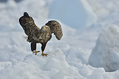 White-tailed Eagle (Haliaeetus albicilla) on a block of ice, Hokkaido, Japan