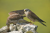 Kestrel (Falco tinnunculus), couple, France