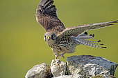 Kestrel (Falco tinnunculus), female, France