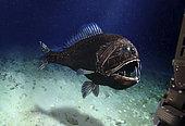 Poisson-ogre (Anoplogaster cornuta), Açores. La taille maximale de cette espèce ne dépasse pas 18 cm. Fréquente les eaux profondes des toutes les mers tropicales et tempérées entre - 2000 et - 5000 m. Image composite