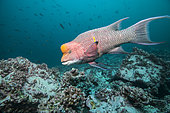Mexican hogfish (Bodianus diplotaenia) male hunting around Malpelo Island, Tropical Eastern Pacific of Colombia.