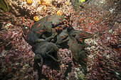 Gathering of Speckled Moray eels (Gymnothorax dovii) in a rock crevice, 'Malpelo Island, Tropical Eastern Pacific of Colombia.