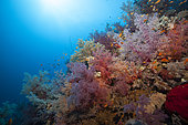 Coral reef covered with Soft coral, Suakin Archipelago, Sudan, Red Sea.