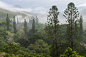 Cook pines (Araucaria columnaris) and mist in the central range. Tribe of Gohapin. New Caledonia.