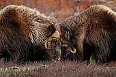 Muskox (Ovibos moschatus) fighting in the tundra, Dovrefjell, Norway